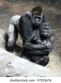 Pittsburgh, PA - Moka, a western lowland gorilla at the Pittsburgh Zoo, holds her 10-day-old infant son, with a large silverback male behind them, on February 17, 2012.