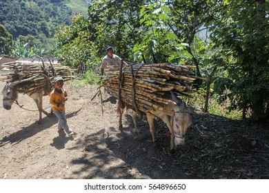 PIURA, PERU - JUNE 28: Father with his son are leading their donkeys loaded with bundles of sugarcane near the city of Piura, region called Jijili. In the north of Peru, 2011.
