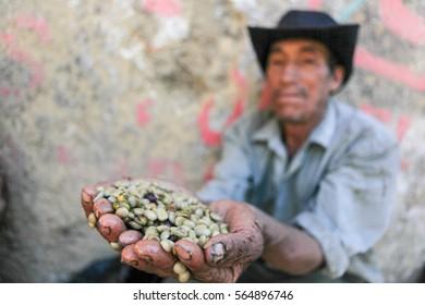 PIURA, PERU - JUNE 28: Peruvian guy is showing a handful of coffee beans near the city of Piura, region called Jijili. In the north of Peru, 2011.