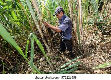 PIURA, PERU - JUNE 28: A peruvian man reaps pieces of sugar cane near the city of Piura, region called Jijili. In the north of Peru, 2011.