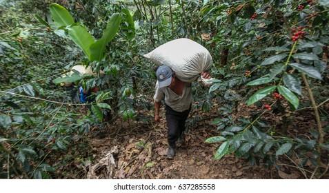 PIURA, PERU - JUNE 28: peruvian men transfer bags filled with coffee cherries near the city of Piura, region called Jijili. In the north of Peru, 2011.