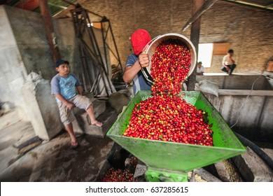 PIURA, PERU - JUNE 28: peruvian man operates a machine for coffee cherries processing near the city of Piura, region called Jijili. In the north of Peru, 2011.