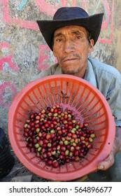 PIURA, PERU - JUNE 28: View of Peruvian guy who shows a basket with coffee cherries near the city of Piura, region called Jijili. In the north of Peru, 2011.