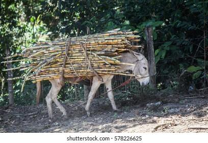 PIURA, PERU - JUNE 28: View of a donkey which carries a bundle of sugarcane near the city of Piura, region called Jijili. In the north of Peru, 2011.