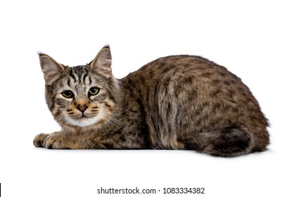 Pixie Bob cat kitten laying down side ways isolated on white background and looking to camera