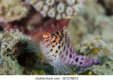 Pixie hawkfish proudly posing to the camera in the waters of northern Mozambique
