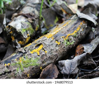 A placer of small yellow mushrooms on a small log of a dead tree. Spring forest.