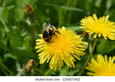 Placid bumble bee drinks the summer flower juice.