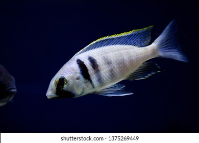 Placidochromis electra - Deep Water hap - Lake Malawi African Cichlids - Haplochromis