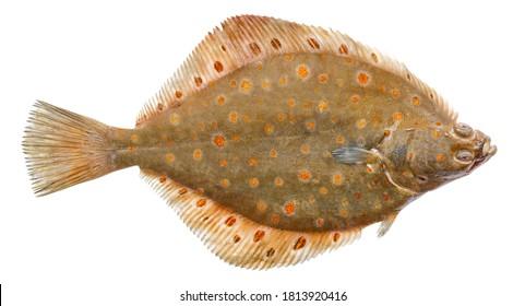 Plaice fish isolated on white background. Fresh flounder