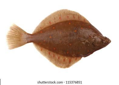 Plaice Fish (Pleuronectes platessa) Isolated on White Background