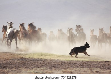 plain with beautiful horses in sunny summer day in Turkey. Herd of thoroughbred horses with dog