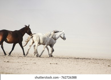 plain with beautiful horses in sunny summer day in Turkey. Herd of thoroughbred horses. Horse herd run fast in desert dust against dramatic sunset sky.