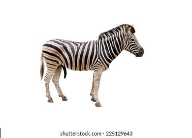 Plain Burchell's Zebra female standing side view on white background