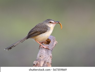 Plain Prinia (Prinia inornata) beautiful brown to yellow bird eating worm meal while perchingn on wooden branch, lovely nature