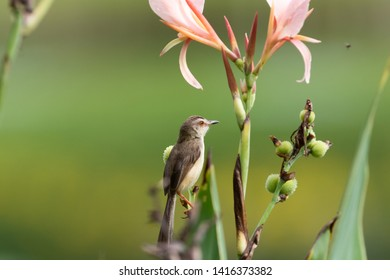 The plain prinia (Prinia inornata), also known as the plain wren-warbler or white-browed wren-warbler, is a small cisticolid warbler found in southeast Asia. It is a resident breeder