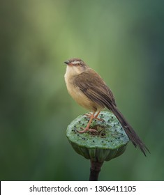 Plain Prinia ( Prinia inornata ) on lotus flower.