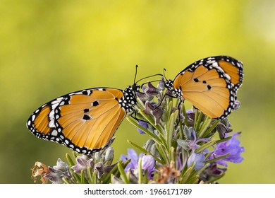 Plain Tiger (African Monarch) on lavender macro shot