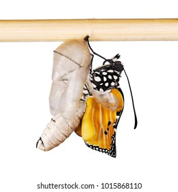 Plain tiger butterfly, Danaus chrysippus, on a pupa shell. The butterfly has just emerged and is spreading its wings. Bright orange plain tiger is the most widespread butterfly in the world.