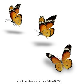 Plain Tiger Butterfly flying up (Danaus chrysippus)