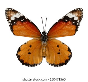 Plain Tiger Butterfly isolate on white background.(Danaus chrysippus)
