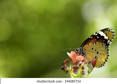 Plain Tiger butterfly perching on red flower
