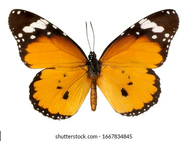 The Plain Tiger, Danaus chrysippus, butterfly isolated on white background.