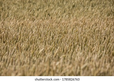 Plain wheat field with texture of straws