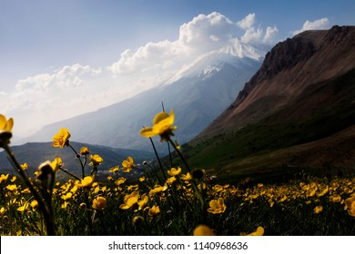 A plain of yellow flowers in nature and Damavand peak is in the background.
