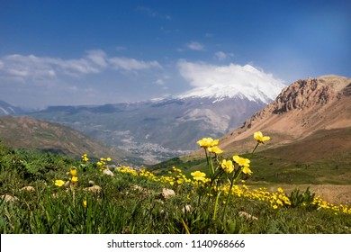 A plain of yellow flowers in nature and Damavand peak in the background.