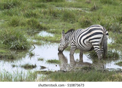Plain zebra drinking water  at watering point, Amboseli, Kenya