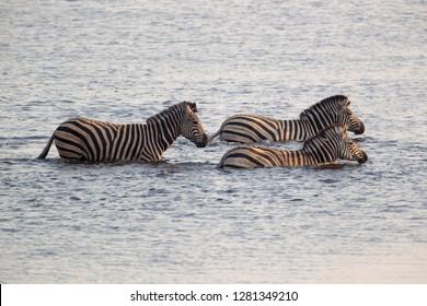 Plain zebra, (Equus quagga), crossing the river, Chobe National Park, Botswana.