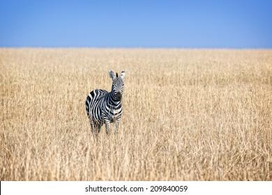 Plain zebra in savanna of Masai Mara National Reserve, Kenya