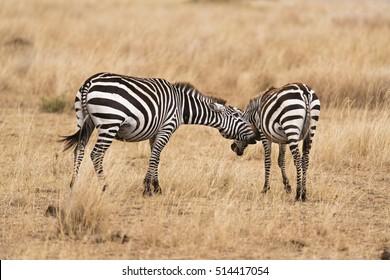 Plain zebras during mating season. The male zebra is making unwanted advances to female . Kenya, Eastern Africa