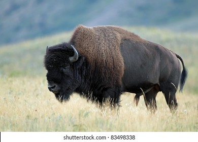 Plains Bison (Bison bison) - Waterton Lakes National Park, Alberta
