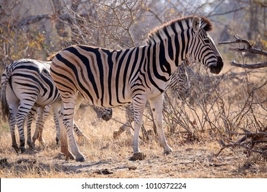 Plains or Burchell's Zebra in the african wild