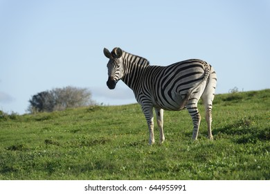 Plains Zebra in Addo Elephant National Park, South Africa