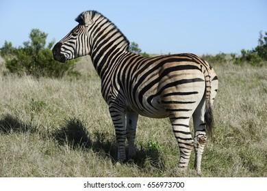 Plains Zebra, Addo Elephant National Park, Eastern Cape, South Africa