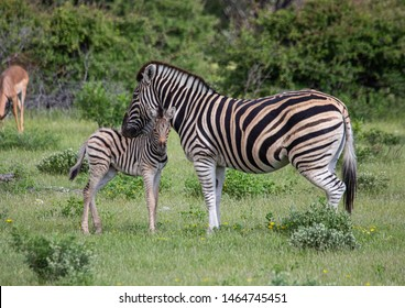 A Plains Zebra with its child in the savannah grass of the Etosha National park in northern Namibia during summer