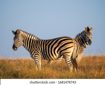 Plains zebra or common zebra (Equus quagga, formerly Equus burchellii). Eastern Cape. South Africa