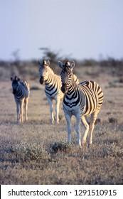 Plains Zebra, (Equus burchellii), Africa, Namibia, Oshikoto, Etosha National Park