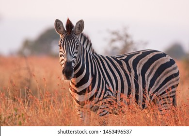 plains zebra, equus quagga,  equus burchellii,  common zebra, Kruger national park
