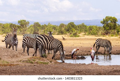 Plains Zebra Equus quagga drinking water at waterhole with two yellow billed storks photobomb Ol Pejeta Conservancy Kenya East Africa stripes black white lines striped