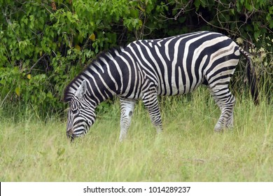 The plains zebra (Equus quagga, formerly Equus burchellii), also known as the common zebra or Burchell's zebra in the sun-drenched morning savannah. African herbivore - zebra in the morning light.