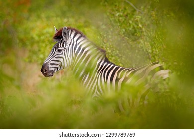 Plains zebra, Equus quagga, in the green forest nature habitat, hidden in the leaves, Kruger National Park, South Africa. Wildlife scene from African nature. Zebra sunset with trees.