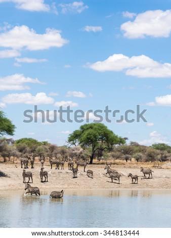 Plains Zebra Equus Quagga Known Common Stock Photo (Edit Now