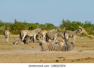 Plains Zebra - Equus quagga, large popular horse like animal from African savannas, Etosha National Park, Namibia