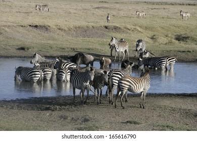 Plains zebra, Equus quaggai,  group mammals at water, Tanzania