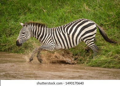 Plains zebra jumping into river from bank