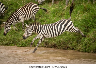 Plains zebra jumps into river from bank